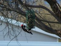 Acorn Woodpecker on feeder... Beautiful!!