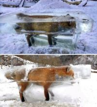 FOX FOUND FROZEN IN RIVER ICE IN GERMANY