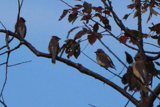 A Group of Cedar Waxwings