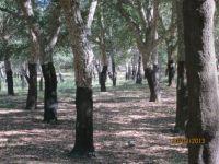 Cork Oak Plantation