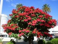 Pointsettia tree in Ponta Delgada, Azores