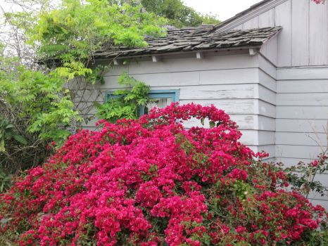 Bougainvillea and house