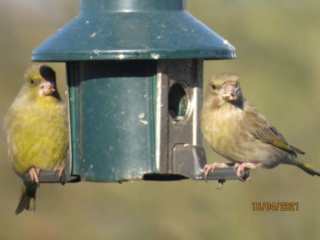 Mr. and Mrs. Greenfinch eat breakfast together.