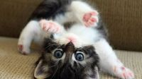 Upside-down Playful Kitten