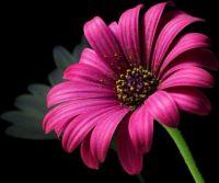 daisy_pollen_flower
