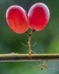 Super ant grape lifter