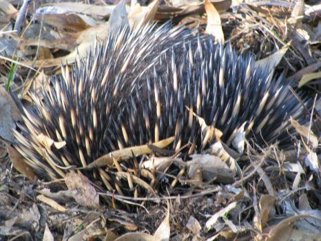 Australian Echidna attempting to hide