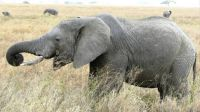 african elephant_Moment