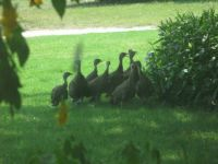 A Visit From Wild Turkeys_3