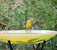 BBY-7-0391Yellow bird on a bird bath