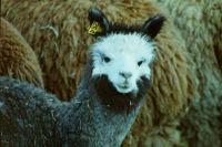 Llama-  Chile