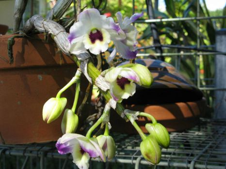 Orchid flowering!