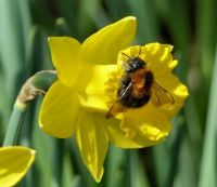 bumblebee on daffodil