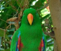 eclectus (male)
