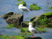 Seagulls at Williamstown