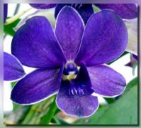blue Dendrobium (Natural color)