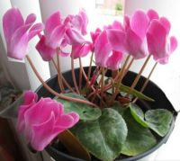 My Cyclamen still going on and on...☺☺