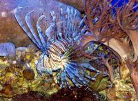 Birch Aquarium - Lion Fish