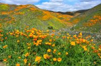 Super bloom, CA