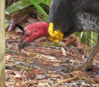 Scrub Turkey scratching in the back garden yesterday.