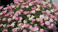 Federation Daisies ...Pretty in Pink