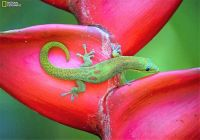 "THEME ~ ""Amphibians, Fish & Reptiles""  ... Gecko Sitting on a Lobster-Claw Plant on Big Island, Hawaii"