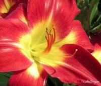 Day Lily _7411