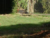 Bush Turkey