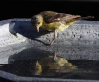Who are you and why are you in my birdbath?