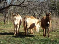 West Texas Donkeys