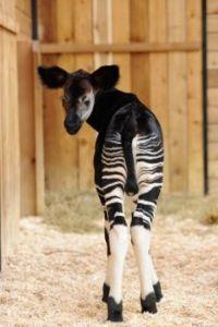 A baby Okapi, the giraffe's closest relative.