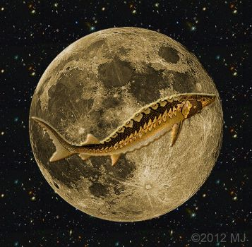 sturgeon moon - I hope it was as beautiful where you live as it was here.
