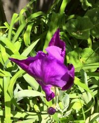 Iris with Day Lilies and Hollyhock plants.