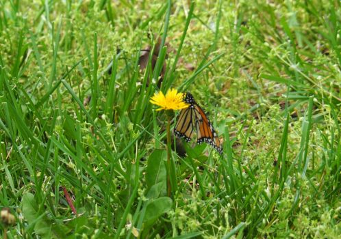 Butterfly on Dandelion