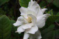 185_8260  Gardenia