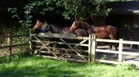 Horses in the yard 2