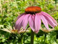 Coneflower - Echinacea