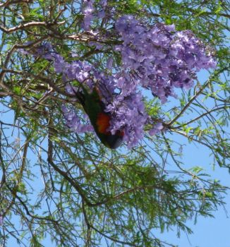 Rainbow Lorikeet into the Jacaranda flowers.