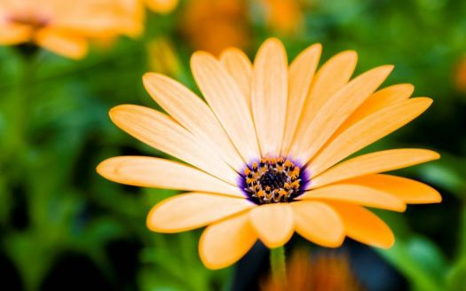 Orange Osteospermum