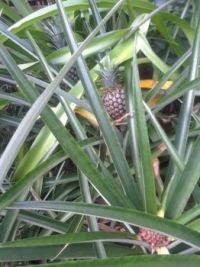 3 pineapples growing.  The back one will be ready to harvest in 2-3 weeks.  The front one just started.