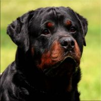 "Rottweiler Male-King-aka ""Sarge""-(1)"