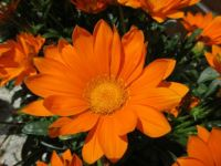 Orange Gazanea....(close up)