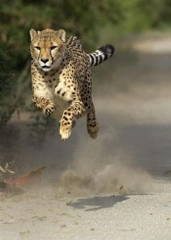Cheetah in motion. Incredible!