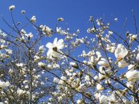 Budding magnolia on a clear spring day
