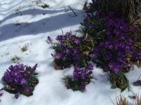 Crocus Flowers and snow